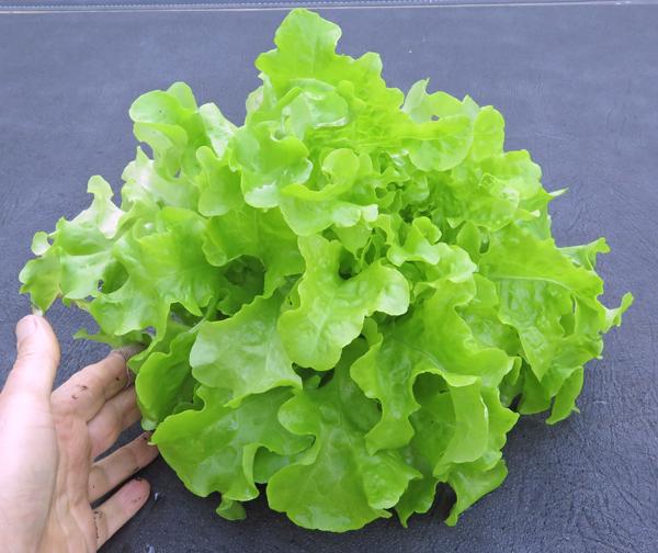 Smile lettuce