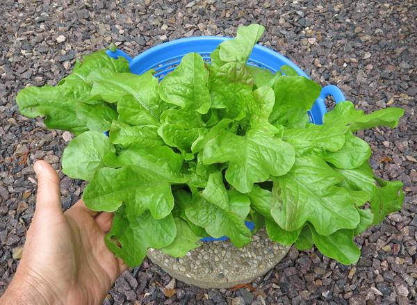 Tall Oaks lettuce