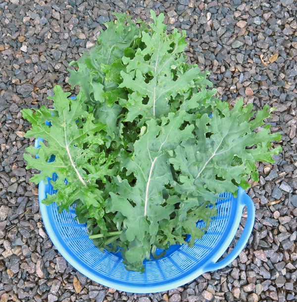 harvest of White Russian kale