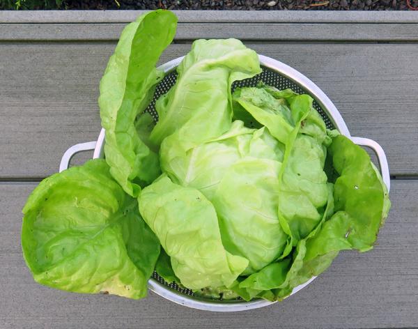 Winter Marvel lettuce