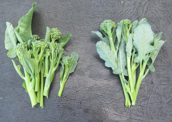 Artwork(L) and Apollo(R) broccolini