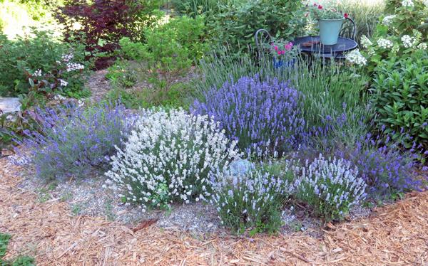 lavender blooming