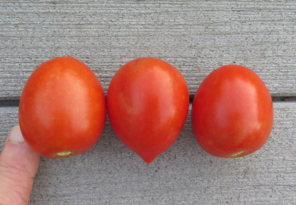 Garden Gem tomatoes