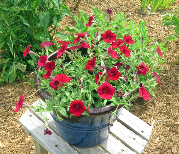 Easy Wave Red Velour petunia