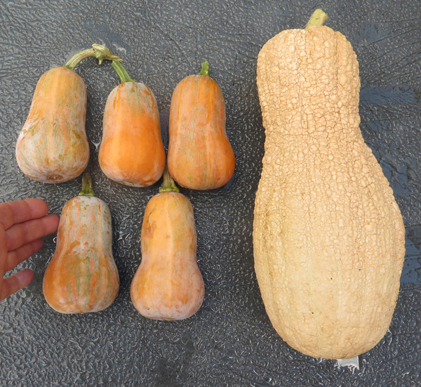 Baby Honey Nut and Butternut Rugosa winter squash