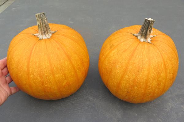 pair of Pepitas Pumpkins