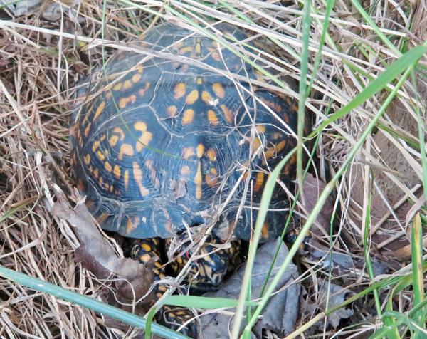 Tammy the Turtle 2016