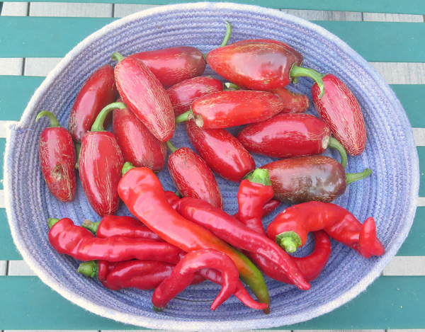 Senorita jalapeno and Maule's Red Hot peppers