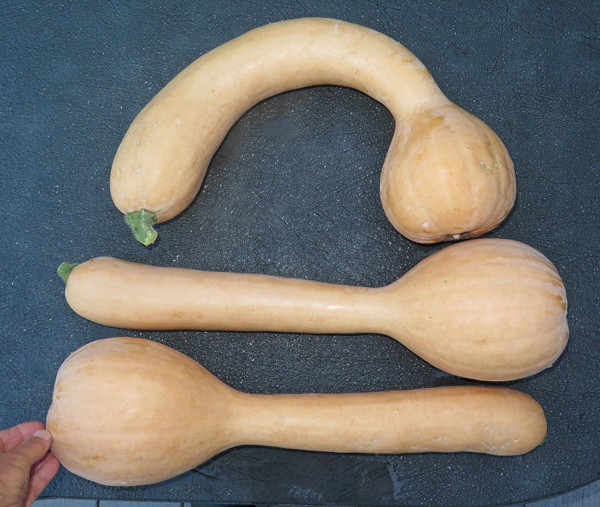harvest of neck pumpkins