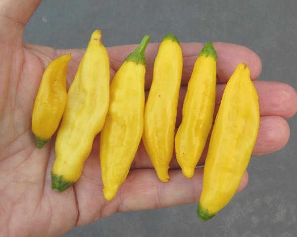 Aji Lemon Drop peppers