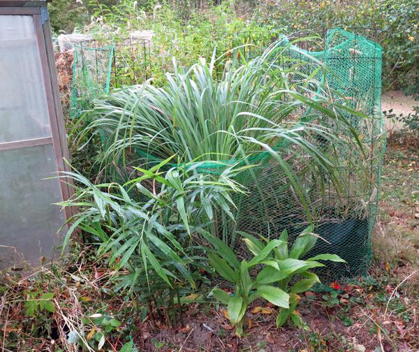 lemongrass and lemon verbena plants