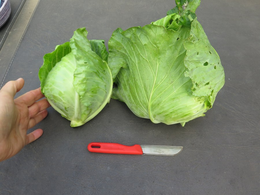Farao(L) and KY Cross(R) cabbage
