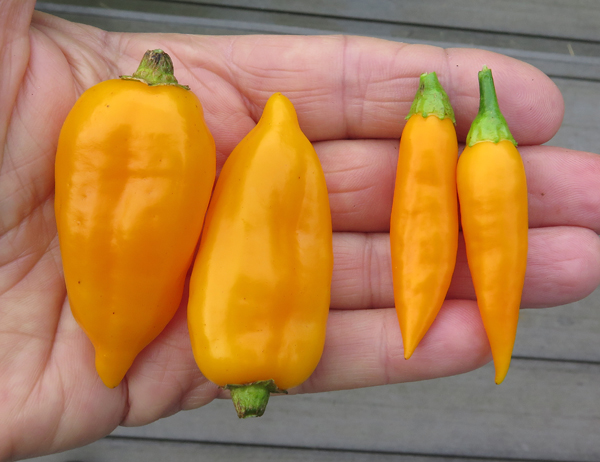 mystery peppers(L) with Baby Aji Amarillo(R)