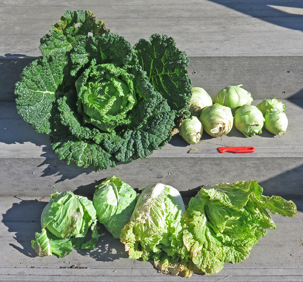 assortment of cabbage and kohlrabi