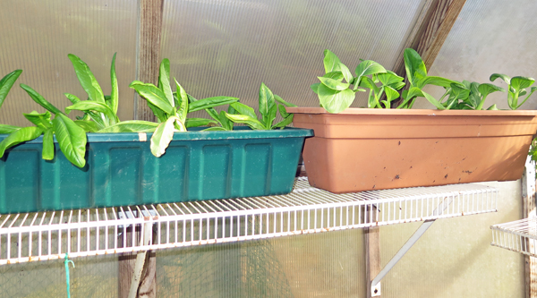 window boxes on greenhouse shelf