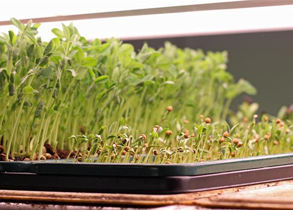 cilantro sprouting