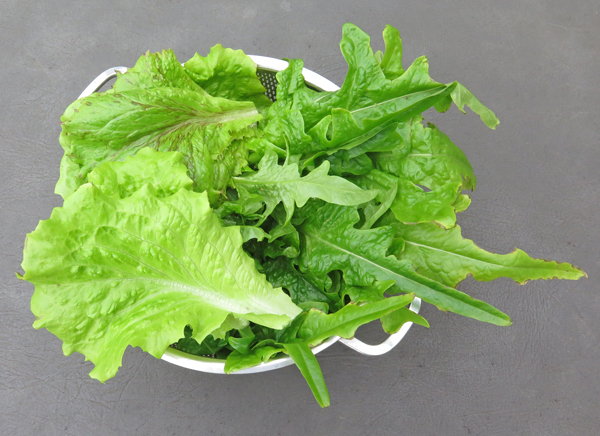 mixed lettuce from greenhouse