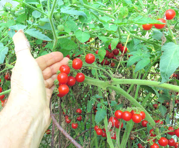 Mexico Midget tomatoes on the vine