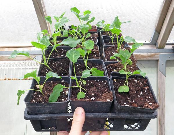 flat of kohlrabi seedlings