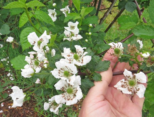 Natchez blackberries blooming