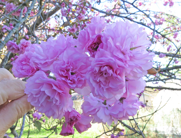 flowering cherry tree