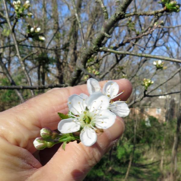 blooms on pie cherry tree