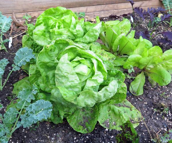 Wonder of Stuttgart lettuce