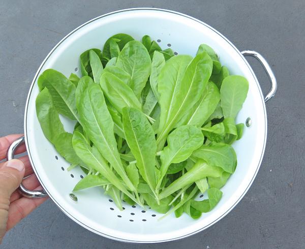 Bionda a Foglia Liscia lettuce