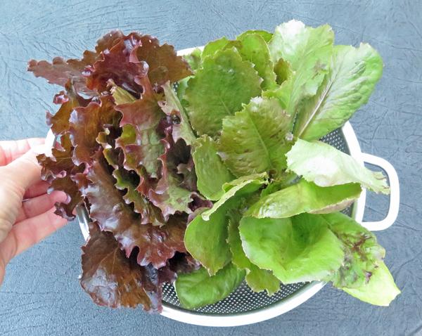 Outstanding lettuce