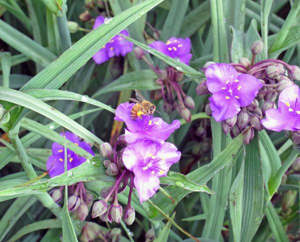honeybee on spiderwort flower