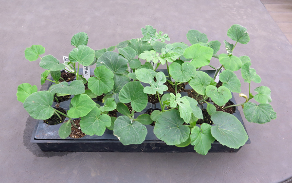squash plants in Pro-Tray