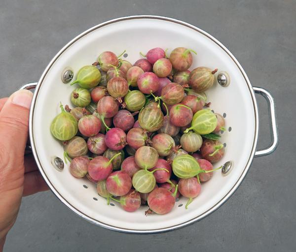 gooseberries for cobbler