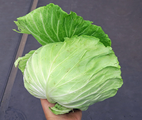 K-Y Cross cabbage