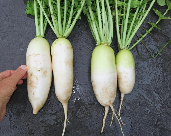 Alpine Gold(L) and Alpine(R) radishes