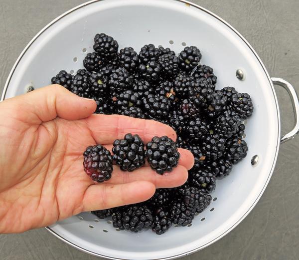 Apache blackberries
