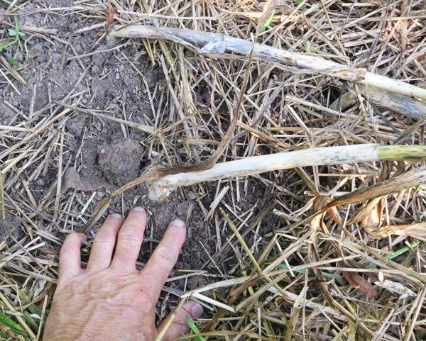 silverskin garlic ready to dig