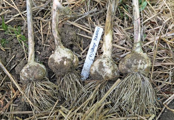 Nootka Rose garlic