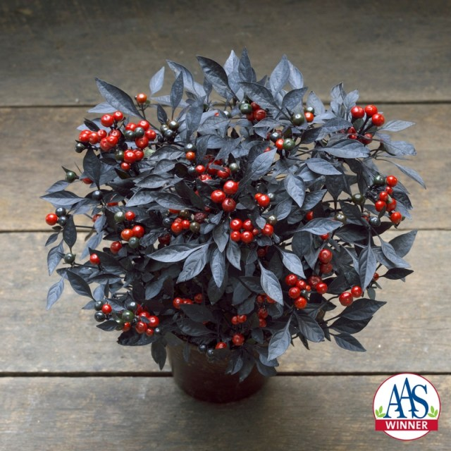 Onyx Red ornamental pepper