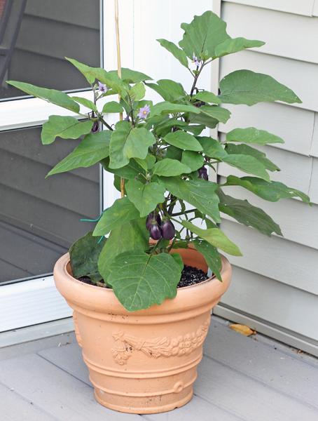 Patio Baby Eggplant
