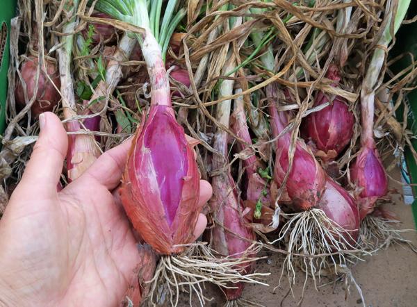 Red Torpedo Tropea onions