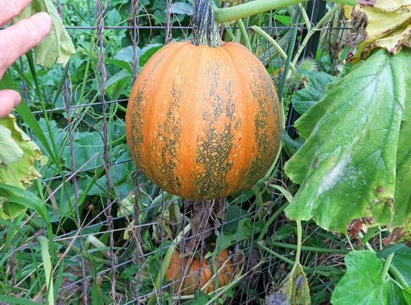 Pepitas pumpkin