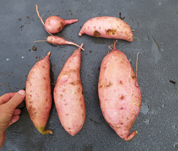 Bonita sweet potatoes