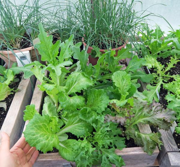 more lettuce in mini salad box