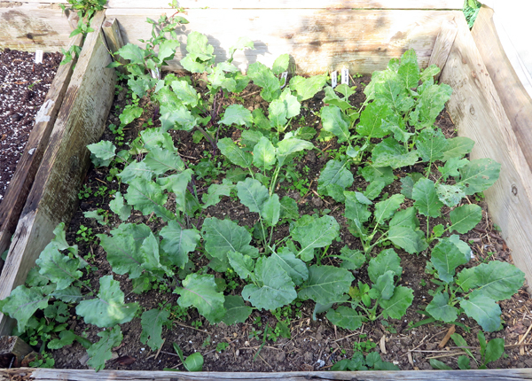 kohlrabi plants in cold frame bed
