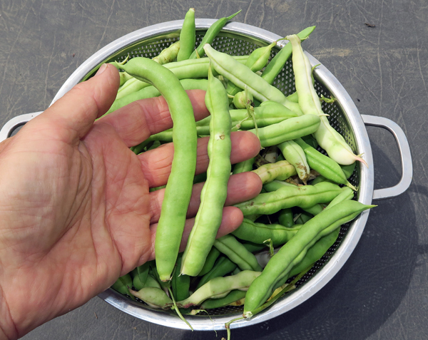 Non-Tough Half Runner beans