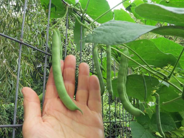 Non-Tough Half Runner beans