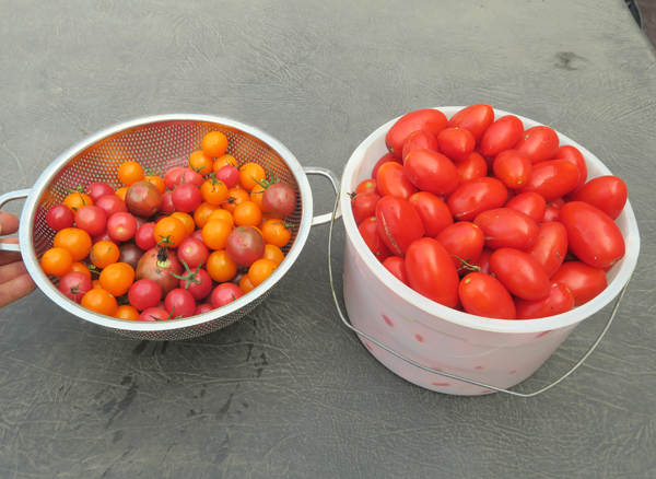 cherry tomatoes and Juliet