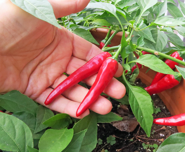 ripe Cayennetta peppers ready to harvest