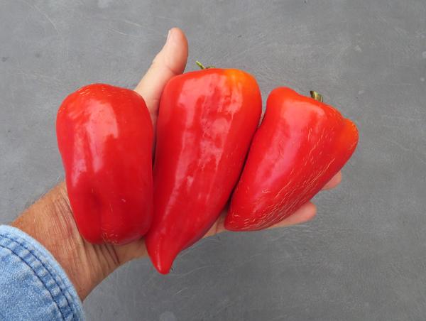 ripe Cece peppers