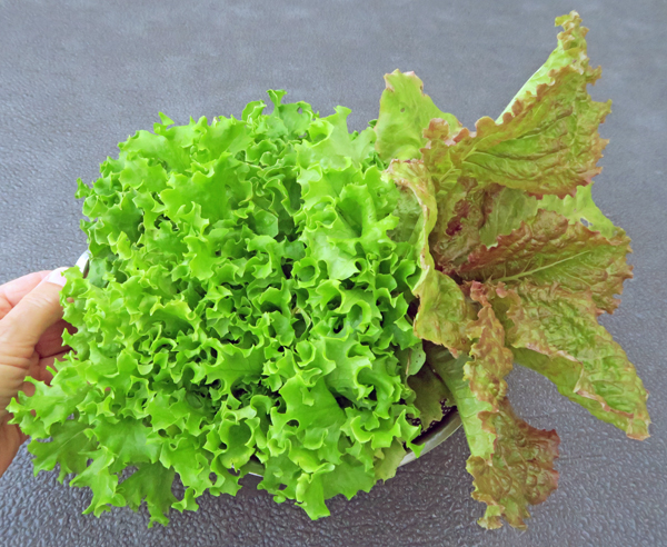 Tango and 21st Century Fire lettuce